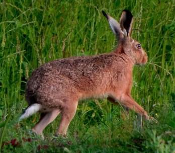 Brown Hare ©Steve Brightwell, Stoke Goldington 24 June 2018