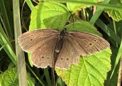 Ringlet ©Zoe Raven, Stoke Wood, Stoke Goldington 21 July 2018
