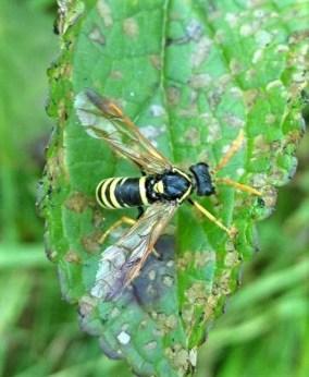 Figwort Sawfly (Tenthredo scrophulariae) ©Ian Saunders in garden, Stoke Goldington 26 June 2018