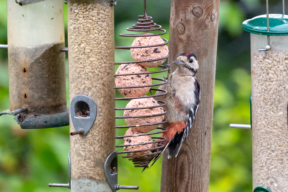 Greater Spotted Woodpecker ©Peter Hassett in garden, Shenley Church End 22 August 2018