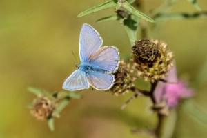 Holly Blue, CC BY-NC-SA by Peter Hassett, Felmersham Gravel Pits 11 August 2018