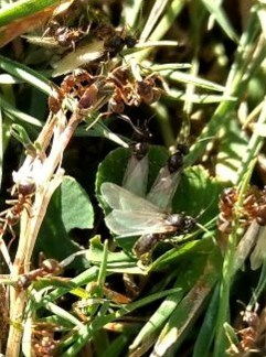 Black Ant (Lasius niger): queens emerging for nuptial flight, ©Ian Saunders garden Stoke Goldington 2 August 2018
