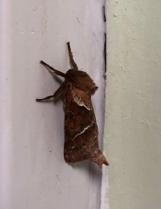 Orange Swift Moth ©Zoe Raven, in house, Stoke Goldington 20 August 2018