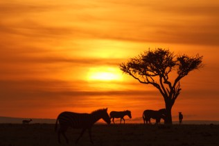 Zebras at Sunset ©Peter Hassett, Mara North Conservancy, Kenya