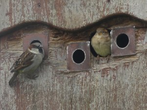 House sparrows ©Harry Appleyard, RSPB Ouse Washes 12 January 2019