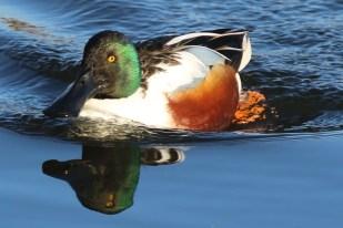 Male Shoveler Duck ©Julian Lambley College Lake 20 January 2019