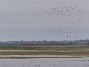 Lapwings and Golden Plover