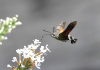Third Place, Hummingbird Hawk Moth ©Janice Robertson