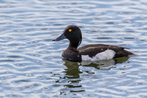 Tufted Duck by Peter Hassett, Floodplain Forest NR 9 June 2017