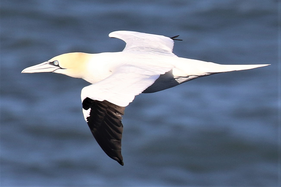 Gannet ©Julian Lambley off Bempton Cliffs, East Riding 25 March 2019