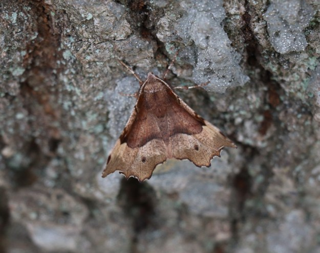 Purple Thorn moth ©Gordon Redford, Little Linford Wood 16 April 2019