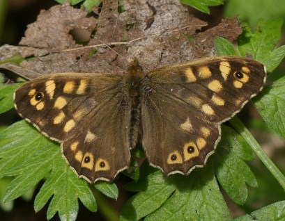 Speckled Wood Butterfly - ©Harry Appleyard, Willen Lake North 10 April 2019