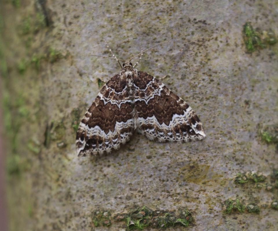 Water Carpet moth ©Gordon Redford, Little Linford Wood 16 April 2019