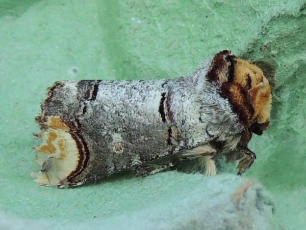 Buff-tip moth © 2019 Gordon Redford 24May19