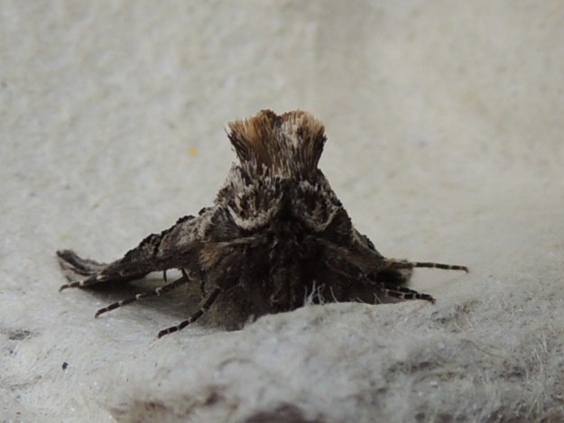 Spectacle moth ©Gordon Redford, Linford Lakes NR 1 May 2019
