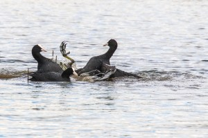 Coot fighting CC BY_NC_SA Peter Hassett. Floodplain Forest NR 31 March 2016