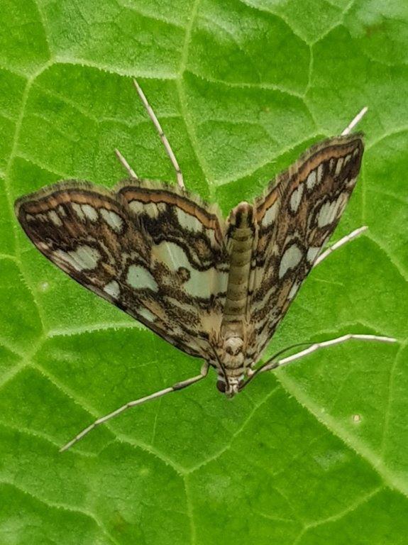 Brown Chinese Character moth ©Julian Lambley, Stonepit Field 4 June 2019