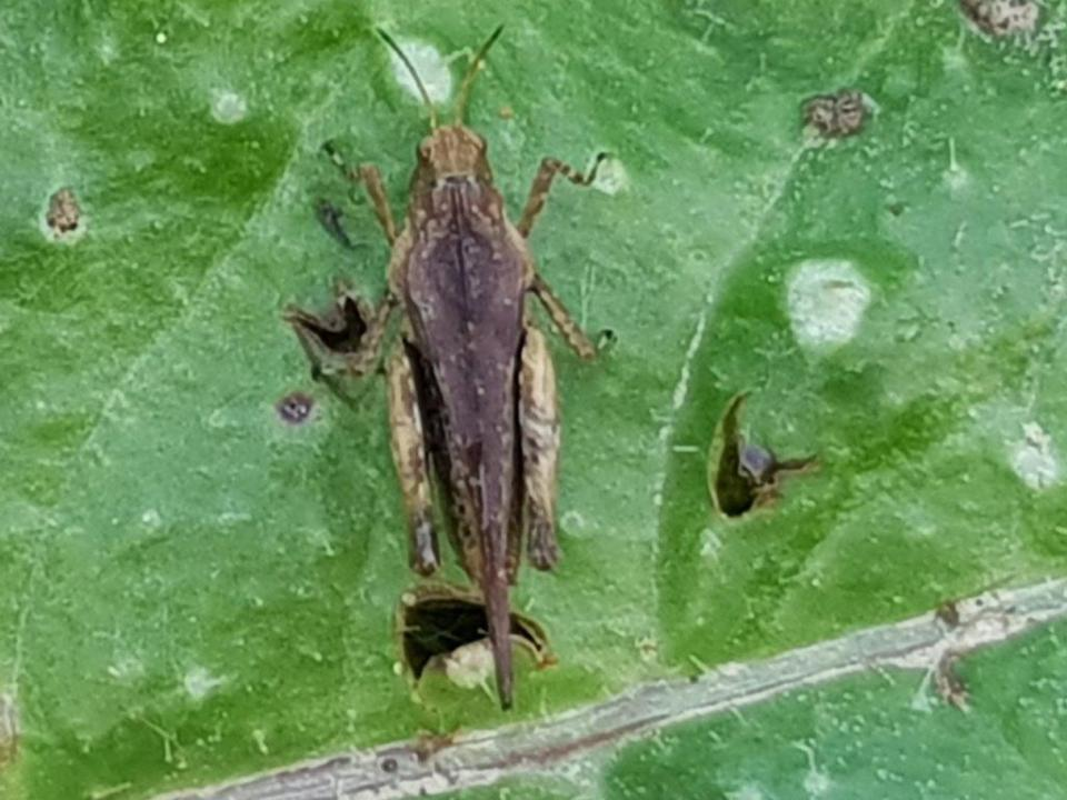 Slender Ground hopper ©Julian Lambley, Stonepit Field 4 June 2019