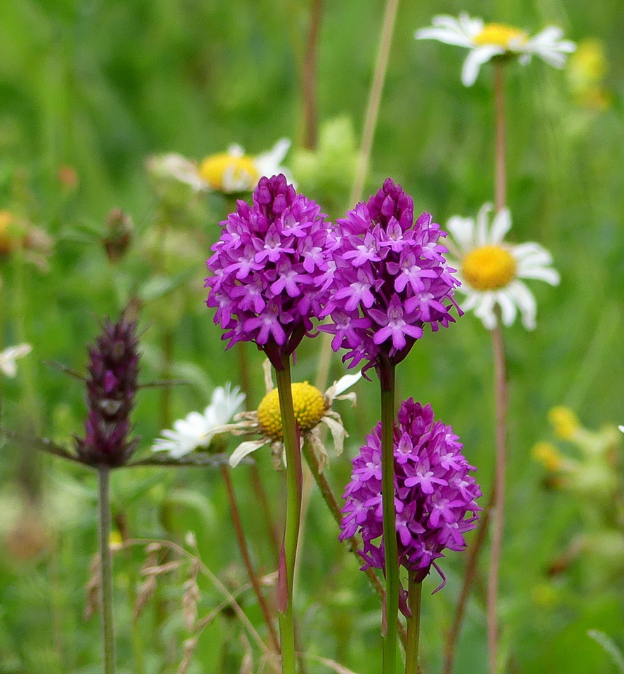Pyramidal orchid ©Janice Robertson, Howe Park Wood 26 June 2019