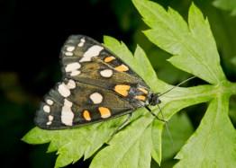 Scarlet Tiger moth ©Paul Lund, Flitwick Moor 25 June 2019