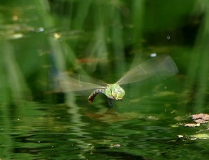 Emperor dragonfly ©Janice Robertson Caldecotte Business Park ponds 30 June 2019