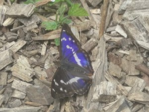 Purple Emperor ©️Martin Kincaid, Shenley Wood 5 July 2019