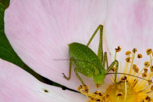 Speckled Bush Cricket by Peter Hassett