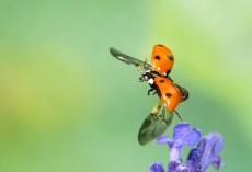 Seven spot ladybird in flight. ©Paul Lund, Bancroft 15 May 2019. Paul used four flash heads set to low power to freeze motion.