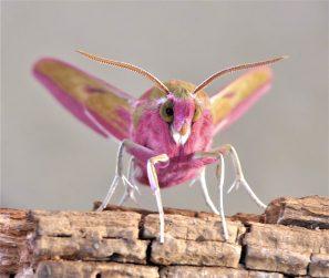 Finalist: Elephant Hawk-moth. June 2020. Milton Keynes. Janice Robertson