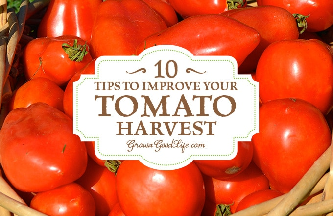 10 tips for growing tasty and abundant tomatoes