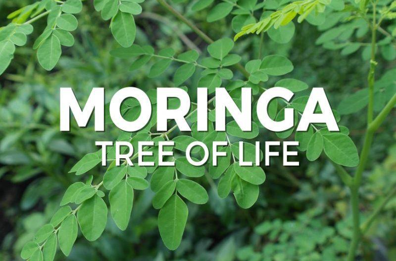 Tips to grow your money on trees with moringa farming