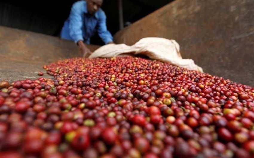 United Eastern Kenya Coffee Marketing Company mkulimatoday.com