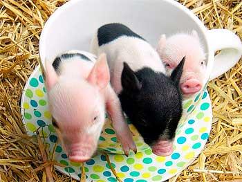 тест на свинство