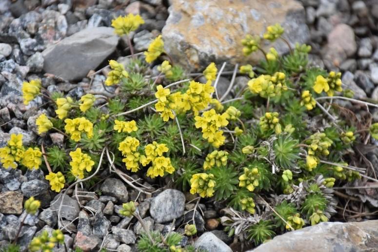 Cette image a un attribut alt vide; le nom du fichier est draba-hoppeana-rchb.-1829-la-drave-de-hoppe-le-nom-de-lespece-honore-le-botaniste-allemand-david-heinrich-hoppe-20170420-1-jbm.jpg
