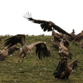 vulture-13