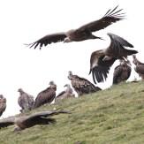 vulture-4