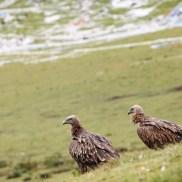 vulture-6