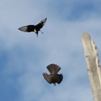 sparrowhawk-magpie-fight-3