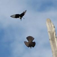 sparrowhawk-magpie-fight-3