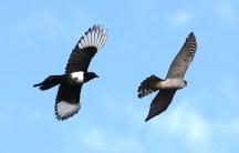 sparrowhawk-magpie-fight-6