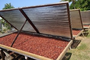 Aromatic cocoa beans drying in the sun