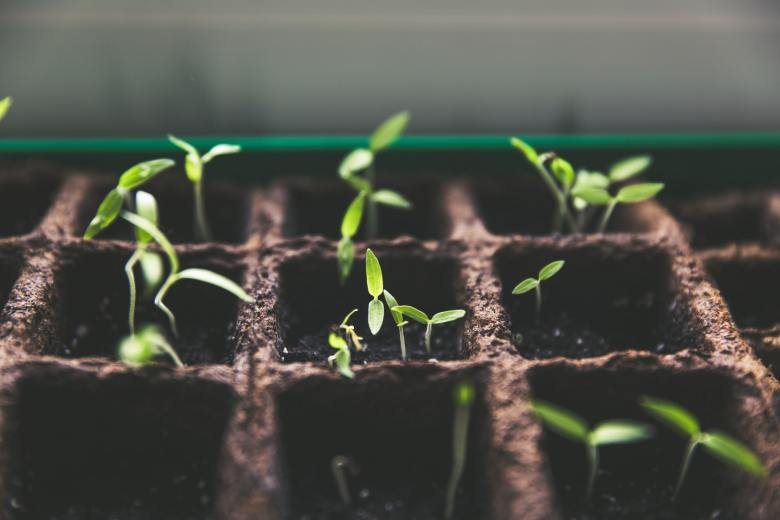 A photo of tomato plants sprouting in a  a large container.