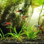 Rybki neonki w naszym akwarium