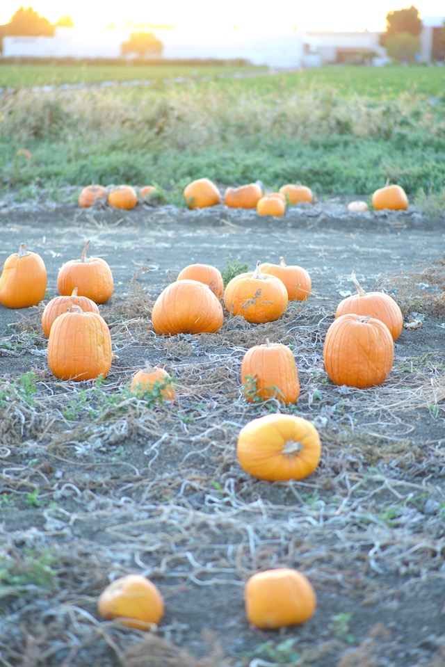 real pumpkin patch near Los Angeles in Ventura County with lots of options M Loves M @marmar