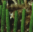 Caulerpa brownii