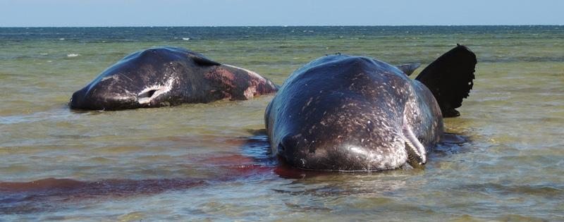 Central pair of dead sperm whales at Ardrossan Dec 8 2014 - Emma Monceaux for web