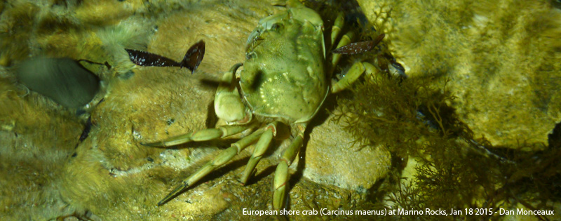 European shore crab (Carcinus maenus) at Marino Rocks - Dan Monceaux 2015