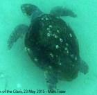 Loggerhead turtle near the wreck of the Claris