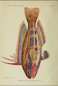 heteroscarus filamentosus-001
