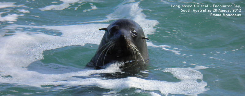 Long-nosed fur seal at Encounter-Bay by Emma Monceaux